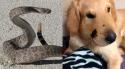 Cachorro herói é mordido por cobra cascavel ao tentar salvar sua dona