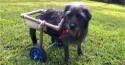Cachorrinha que teve coluna quebrada se recupera e passa a andar sob cadeira de rodas
