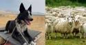 Cachorro pastor reúne mais de 2 centenas de ovelhas para salvá-las de queimadas em fazenda