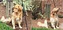 Cadela golden retriever toca e canta com som de sino.