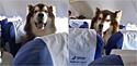 O Malamute do Alasca sentado em uma poltrona no avião chinês.