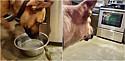 Beija-flor após ser salvo por pastor alemão se recusa e deixar de ser seu companheiro.