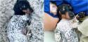 Cão da raça dachshund nasce com pelagem do corpo parecida com dálmata e conquista a internet