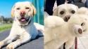 Cachorro escolhe brinquedo parecido com ele mesmo. (Foto: Instagram/service.dog.mushu)