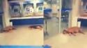 Cães invadem agência bancária para fugir de calor e se refrescar em ar-condicionado. (Foto: Reprodução Twitter/Estado de Minas)