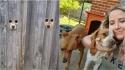Dona de cachorros faz buraco na cerca para que eles possam espiar a vizinhança. (Foto: Reprodução TikTok/@liltroubless | Instagram/e.clare93)