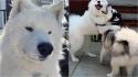 Cão da raça samoieda adora passear para encontrar seus amigos do bairro. (Foto: Instagram/cairo_the_samoyed)