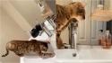 Gatinha aprende a abrir torneira e inunda a casa da dona. (Foto: Reprodução/Kennedy News & Media)