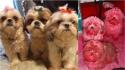 Cães da raça shih-tzu mexem na maquiagem da dona e ficam rosa. (Foto: Reprodução/ViralPress)