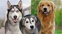 A cruza entre as raças golden retriever e husky siberiano dá origem a raça 'goberiano'. (Foto: Instagram/the_gold_dog_show | Divulgação/Flickr | Instagram/themore_theterrier_)