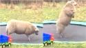 Família filma ovelha doméstica se divertindo em cama elástica. (Foto: Reprodução Youtube/Aww Network)