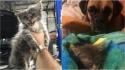 Mecânico encontra filhote de gato escondido no motor de carro, o adota e o seu cão Boxer vira um irmão protetor. (Foto: Arquivo Pessoal)