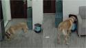 Labrador comete o crime perfeito e encobre seus rastros. (Foto: Reprodução Youtube/South China Morning Post)