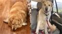 Golden retriever que seria sacrificado por ser obeso é salvo, emagrece e se torna cão de terapia. (Foto: Facebook/This is Kai)