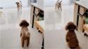 Em vídeo fofo, cachorrinho tenta a todo custo convencer seu amigo a brincar com ele. (Foto: Tik Tok/Douyin Xm5120)