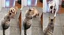 Filhote convoca amigo grandalhão para escorraçar gato encrenqueiro. (Foto: Reprodução/Caters)