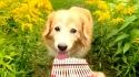 Maple, Golden Retriever encantador. (Fonte: Youtube/AcousticTrench)