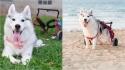 Husky que nasceu sem patas é adotada, ganha cadeira de rodas e agora é só felicidade. (Foto: Instagram/maya_siberian)
