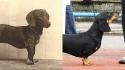 Antes e depois de raças de cães atuais com as de 100 anos atrás. (Foto: homedesignfordogs)
