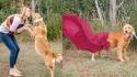 Golden retriever abandonada é adotada e ganha ensaio de maternidade. (FOTO: SHAUNA KIELY)