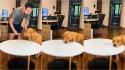 Golden retriever esperto engana o próprio dono com truque sensacional. (Foto: Reprodução TikTok/@lilylikecat)