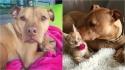 Pit bull apaixonado por gatos ganha uma irmã felina. (Foto: Instagram/Bubbalovesrue)