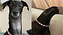Cadela da raça galgo espanhol se destaca pelo pescoço excessivamente comprido. (Foto: Instagram/ketama.de.galgo)