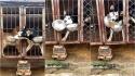 Husky siberiano é flagrado roubando a comida do cão do canil ao lado. (Foto: Douyin/JinLan19940208)