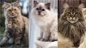 Raças de gatos fofos, conheça suas características e particularidades. (Foto: Instagram/theeyeofmotty | Instagram/rag_dall_cats_lovers | Instagram/gooseandchick)