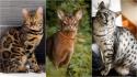 Conheça gatos que se parecem com tigres, leopardos e outros felinos selvagens. (Foto: Instagram/sundiata_bengals | Instagram/abycat_matilda_and_march | Instagram/madam.mau)