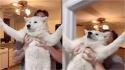 Cão samoieda se agarra em porta para tentar se livrar do banho, mas a tentativa não dá certo. (Foto: Instagram/samoyednamedivy)