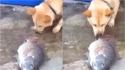 Akita comove internautas ao tentar salvar a vida de peixes jogando água neles com o próprio focinho. (Foto: Reprodução Youtube/Vídeos da Internet)