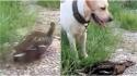 Pato se finge de morto para despistar cachorro em vídeo hilário. (Foto: Reprodução Instagram / @susantananda3)