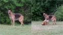 Pastora alemã que vivia em floresta resiste em ser resgatada e voluntária descobre que ela vive com um pit bull no local. (Foto: Facebook/ The Abandoned Ones)