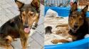 Cadela que perdeu toda a sua ninhada acolhe gatinhos órfãos. (Foto: Facebook/Sunshine Dog Rescue)