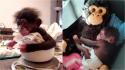 Filhote de chimpanzé que foi rejeitado pela mãe abraça macaco de pelúcia. (Foto: Reprodução/bioparcvalencia)