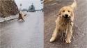 Golden retriever vai buscar galhos para presentear a dona, sai correndo e acaba derrapando na neve. (Foto: Douyin/943045377)