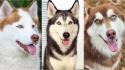 Fatos interessantes sobre os cães da raça Husky Siberiano(Foto: Divulgação/ISTOCK)