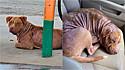 Pit bull em situação de rua dorme tranquilamente no carro de mulher que decidiu adotá-lo. (Foto: Arquivo Pessoal/Aaron Peters)