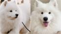 Fatos relevantes sobre os cães da raça Samoieda. (Foto: Instagram/milow_the_samoyed   Instagram/zumothesamoyed)