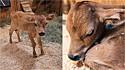 Bezerro foi afastado de sua mãe precocemente e resgatado por santuário. (Foto: Facebook/Road To Refuge Animal Sanctuary)