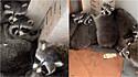 Homem encontra nada menos do que 11 guaxinins presos dentro de casa abandonada. (Foto: Reprodução Youtube/Gates Wildlife Control)