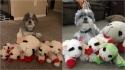 Dona perde as contas de quantos brinquedos iguais ela teve que repor para o seu cão exigente. (Foto: Emily Huggins via Dogspotting Society)