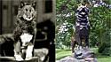 Conheça Balto, o cão que ganhou uma estátua em sua homenagem no Central Park por ajudar a levar a cura à cidade que enfrentava surto. (Foto: Reprodução/ American Kennel Club)