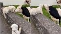 Golden retriever e vaca se reconhecem depois de meses afastados e trocam carinhos. (Foto: Reprodução TikTok/@blainaidmay)