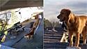 Dono fica perplexo ao ver que o seu Golden retriever subiu escada e o seguiu até o telhado. (Foto: Instagram/vincematteson)