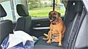 Mulher deixa porta do carro aberta e ao, retornar, encontra cachorrinha dentro dele. (Foto: Arquivo pessoal/Michelle Hennessey)