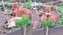 Galinha adota filhotes de cachorro e os cria como se fossem seus. (Foto: Reprodução/ViralHog)