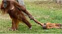 Fotógrafo registra momento em que a mãe orangotango interrompe a brincadeira e filhote fica emburrado. (Foto: Koen Hartkamp)