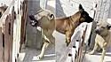 Cachorros brigões, mas só quando o portão está entre eles.